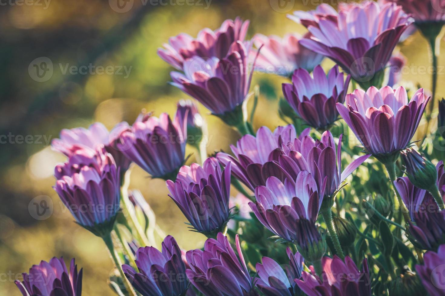 flores roxas e rosa de margarida africana foto