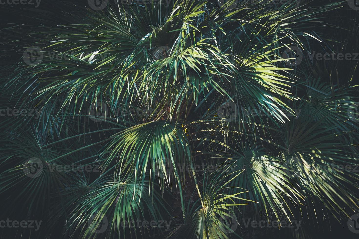 folhas de uma palmeira da Califórnia foto