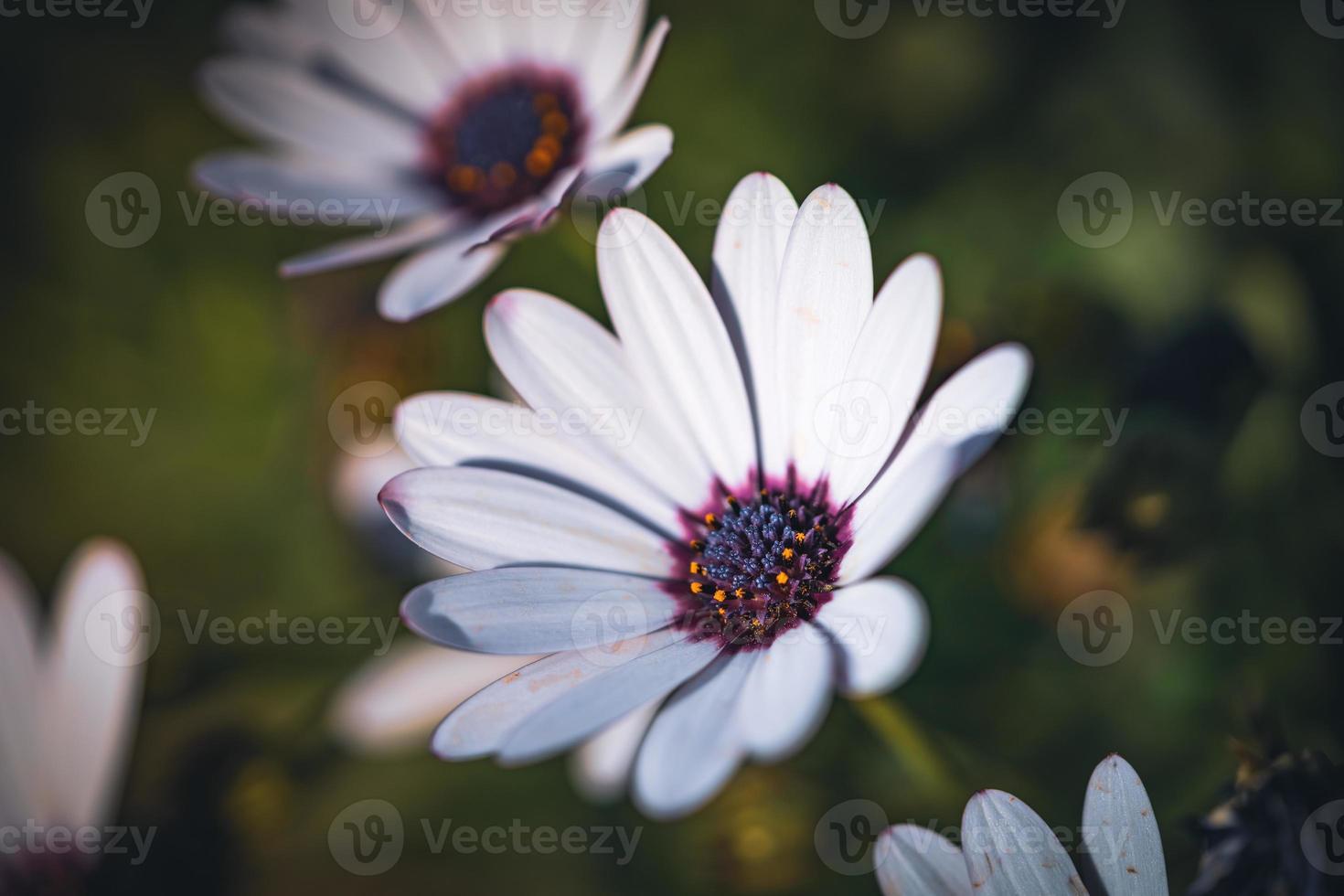 flores brancas de margarida africana foto