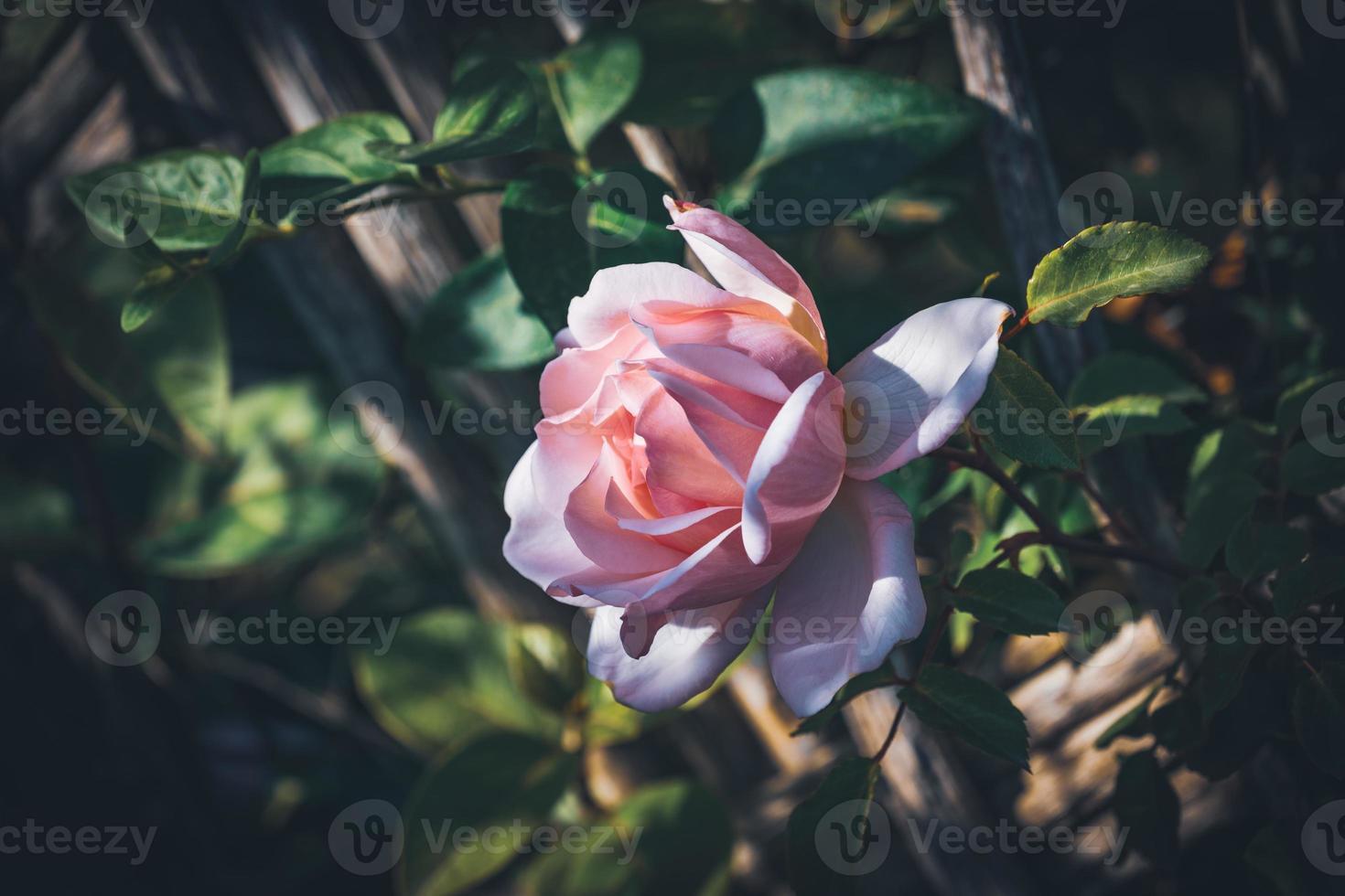 close-up de uma rosa cultivada foto
