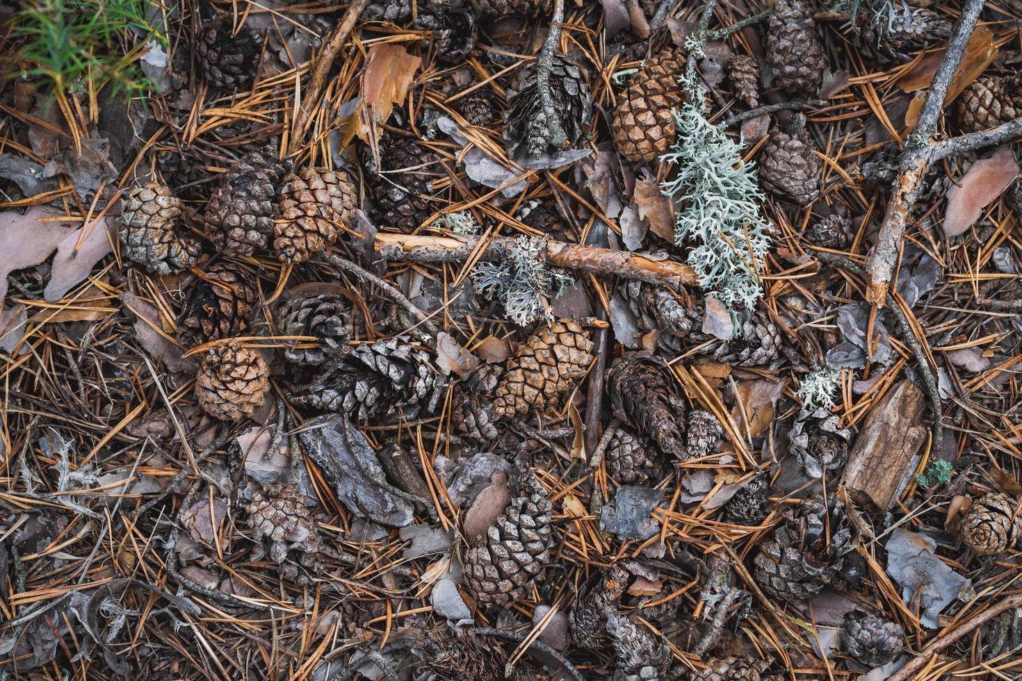 pinhas no chão da floresta foto