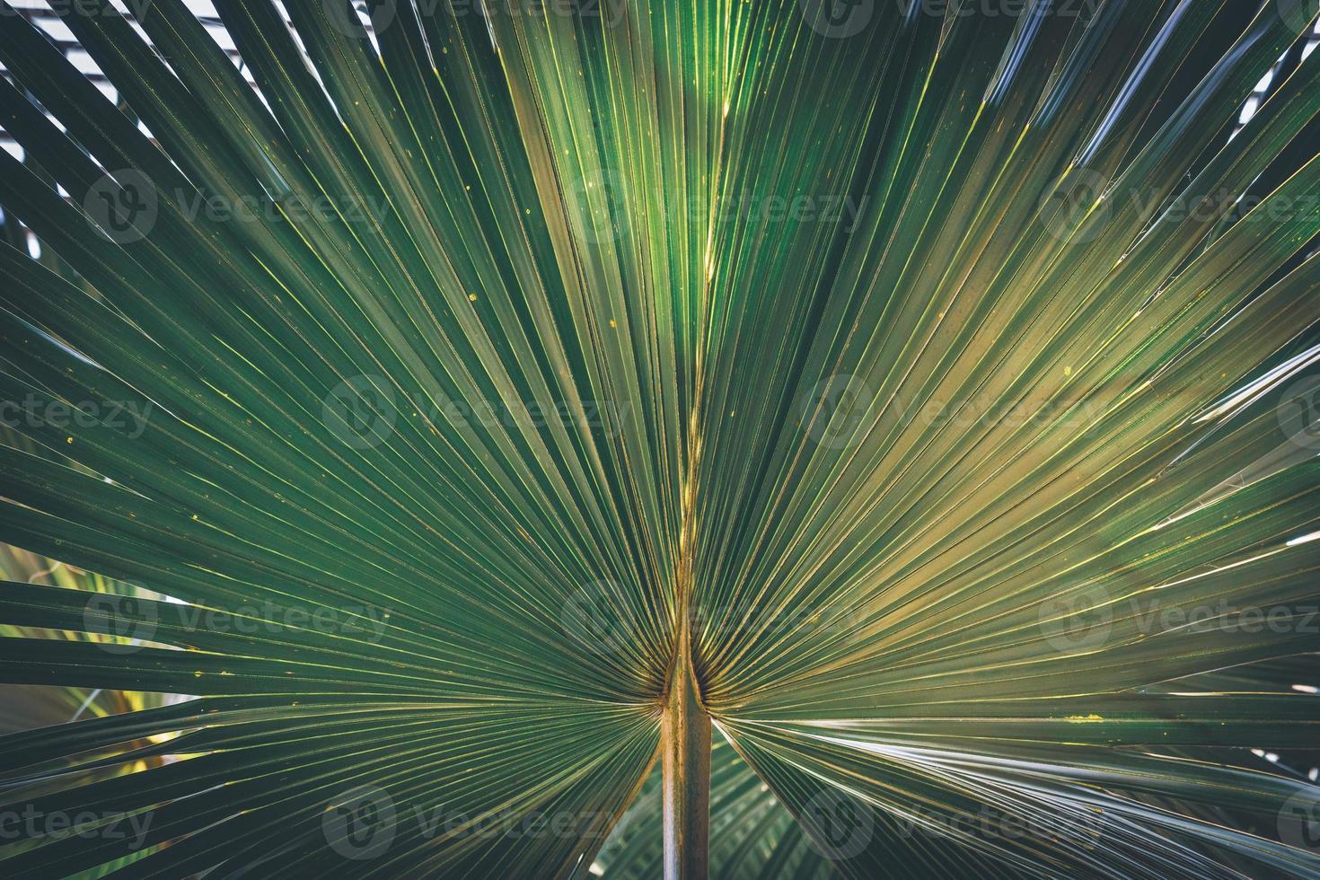 palm fan palm california foto