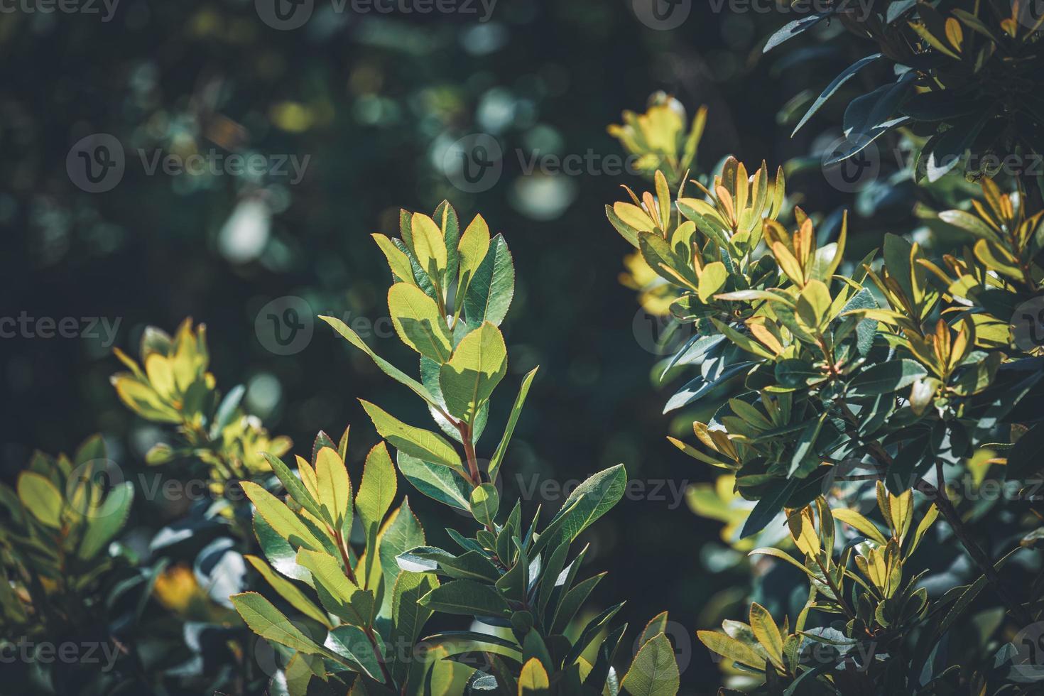 folhas verdes de um medronho unedo foto