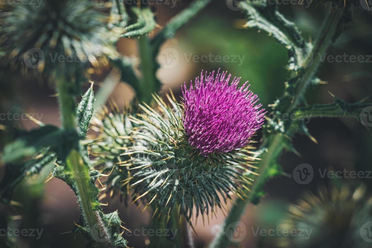 flor roxa de um cardo comum foto