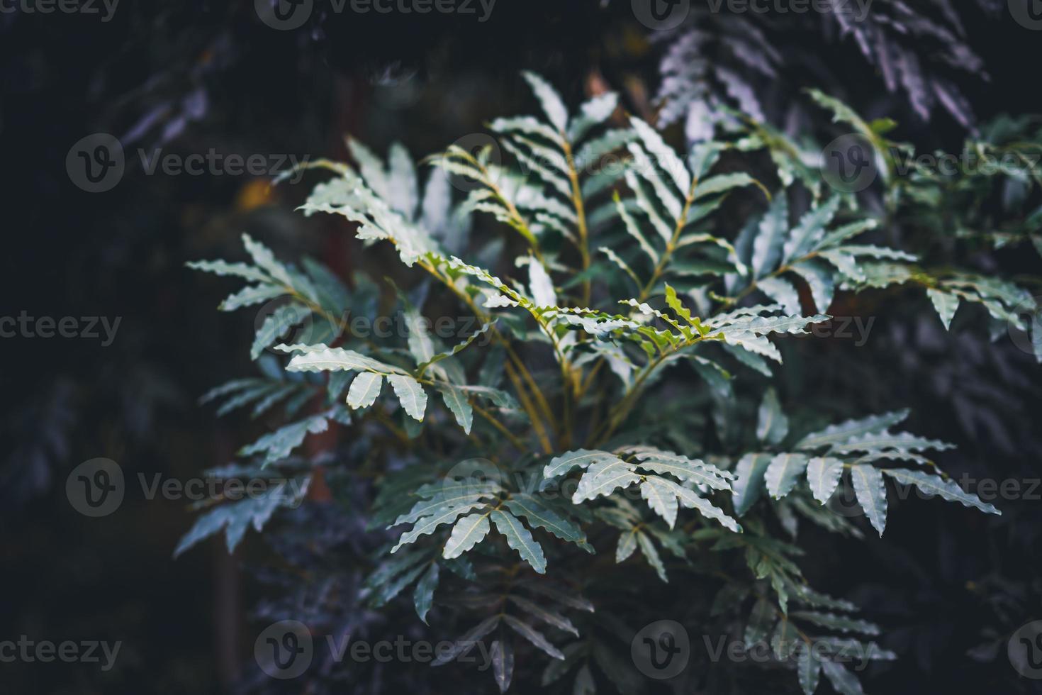 folhas de freixo do cabo foto