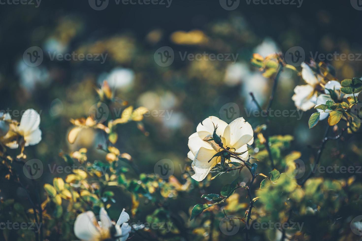 mini flores de roseira foto