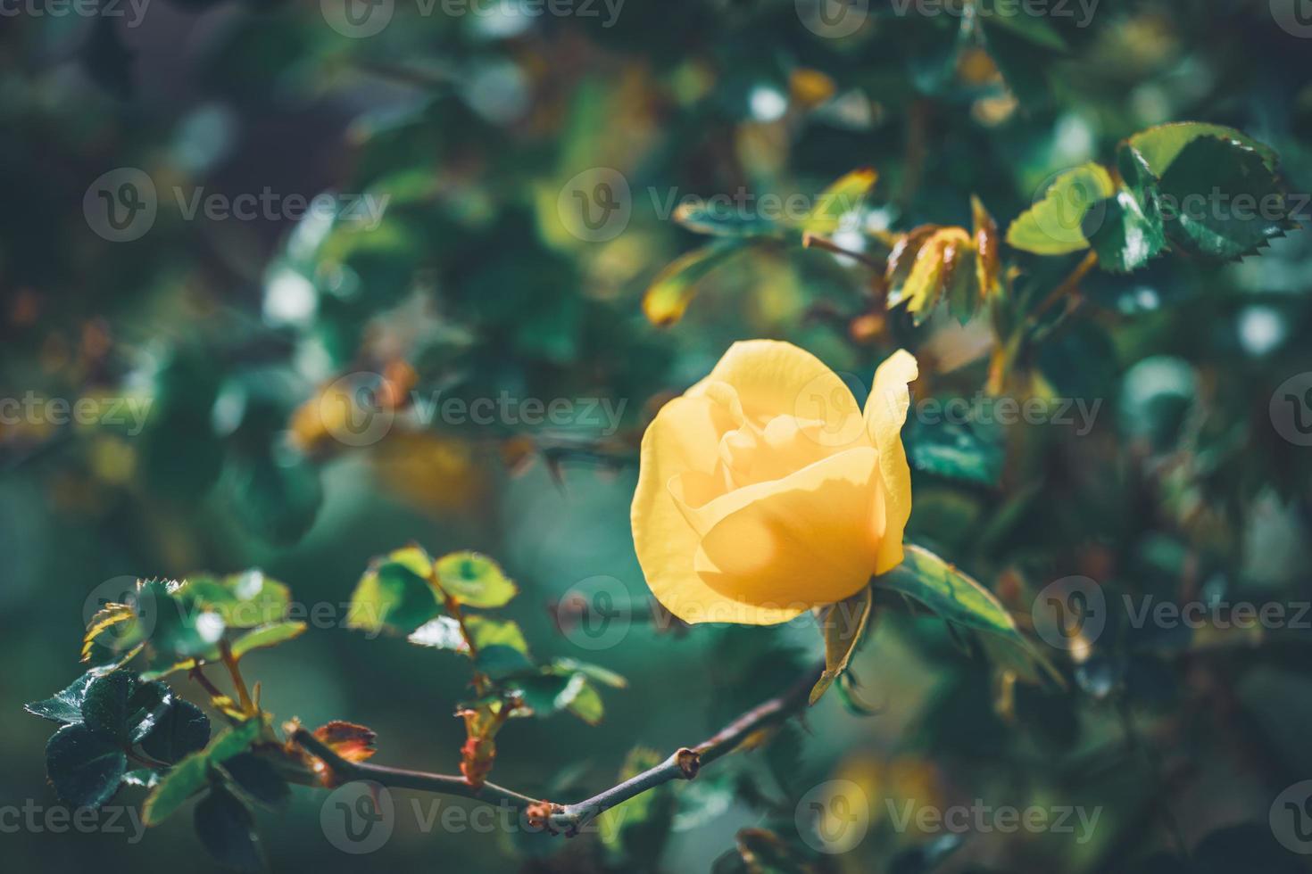 flor amarela de uma mini roseira foto