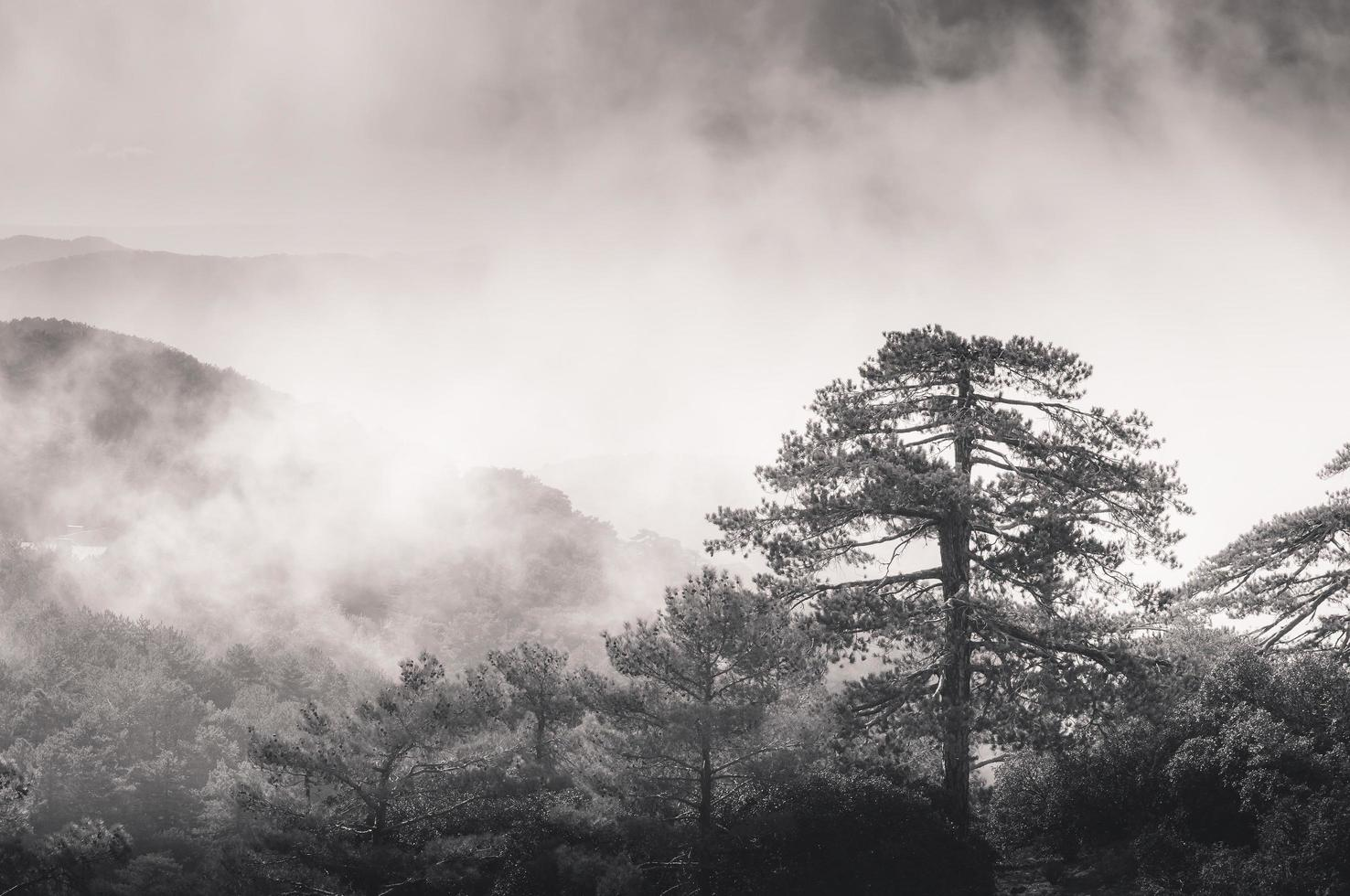 névoa de névoa subindo através dos pinheiros foto