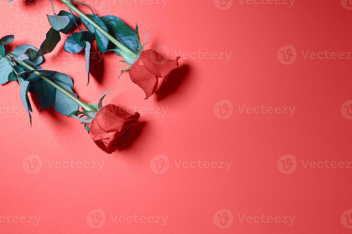 rosas em um fundo vermelho foto