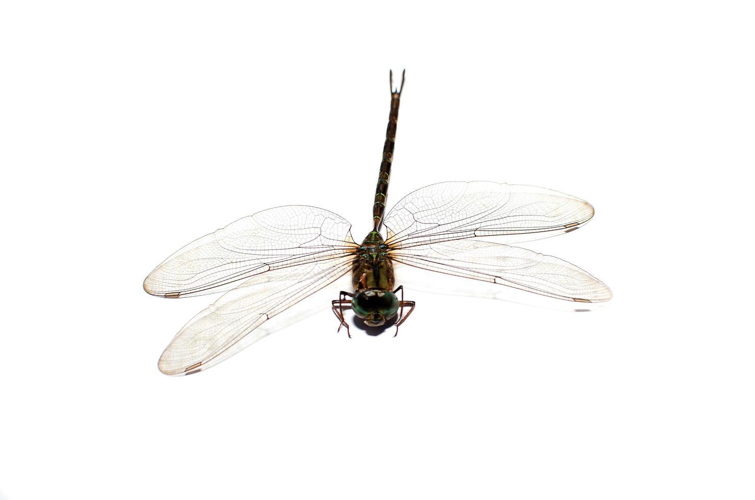 libélula isolada em um fundo branco foto