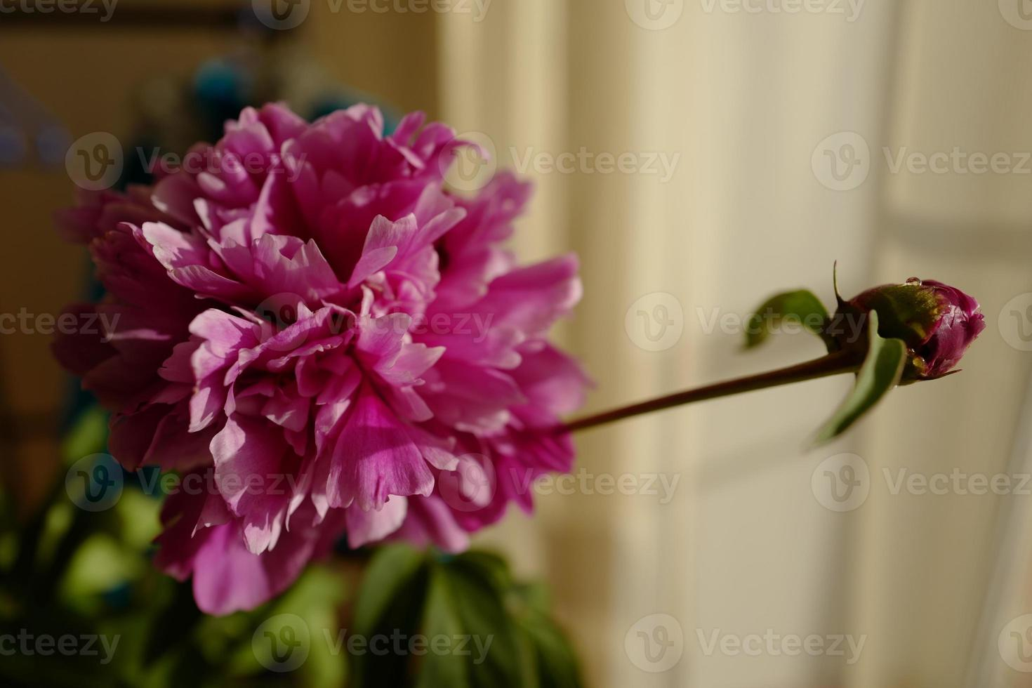flor e botão de peônia foto