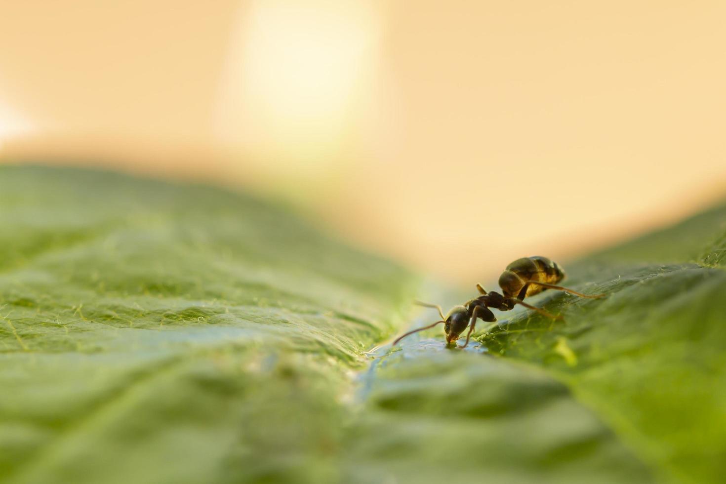 pequena formiga preta isolada em uma folha verde bebendo água foto