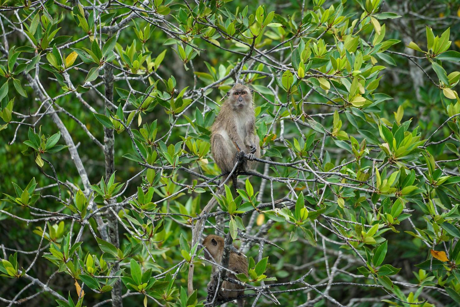 o foco seletivo no macaco fica nos galhos das árvores do mangue com a selva borrada no fundo foto