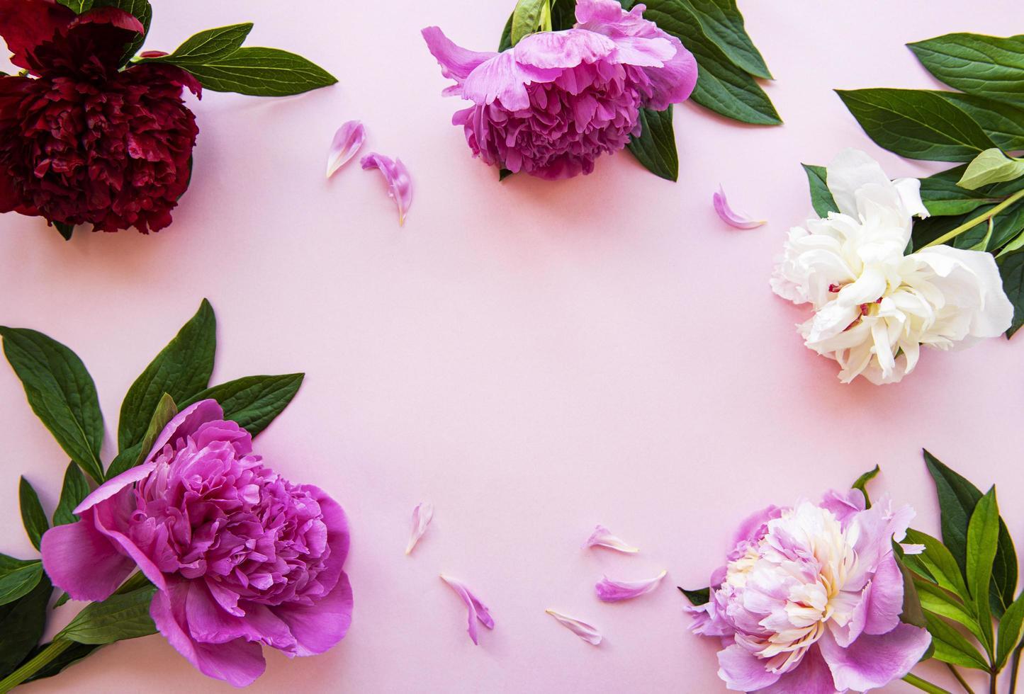 flores de peônia em um fundo rosa pastel foto