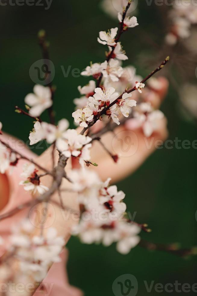 flores de cerejeira da primavera, flores rosa sakura foto