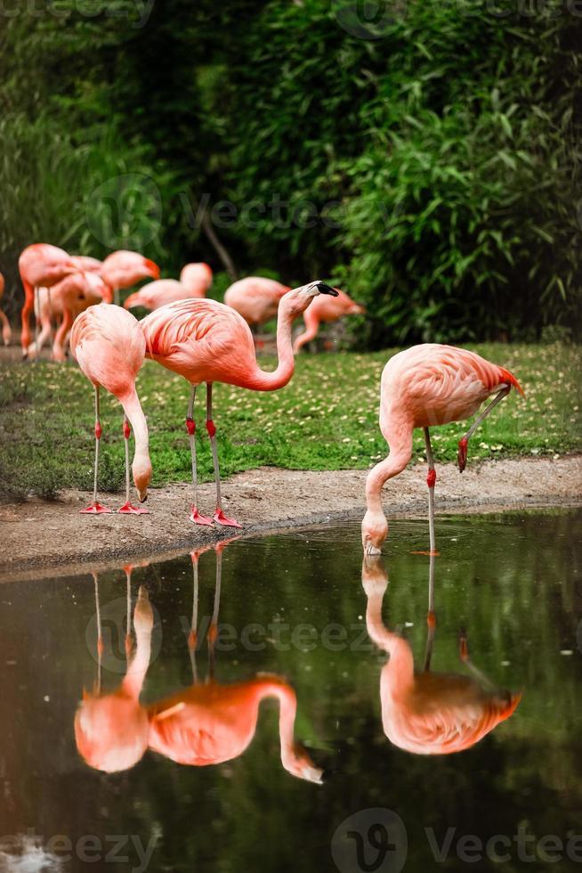 um grupo de flamingos rosa caçando no lago, oásis de folhas verdes em um ambiente urbano foto