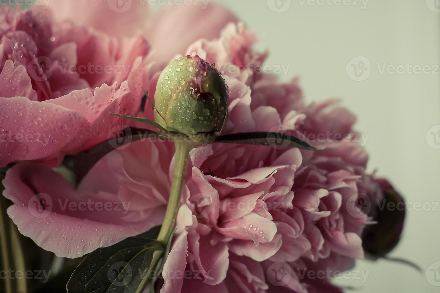 botão fechado de peônia rosa foto