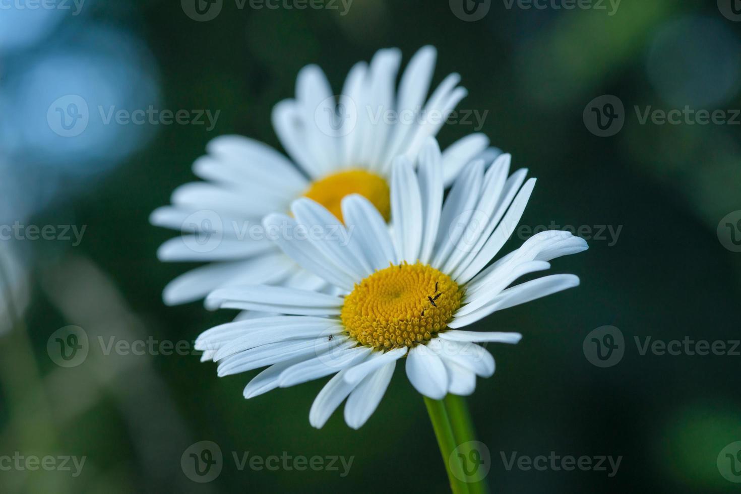 close-up de duas flores de margarida foto