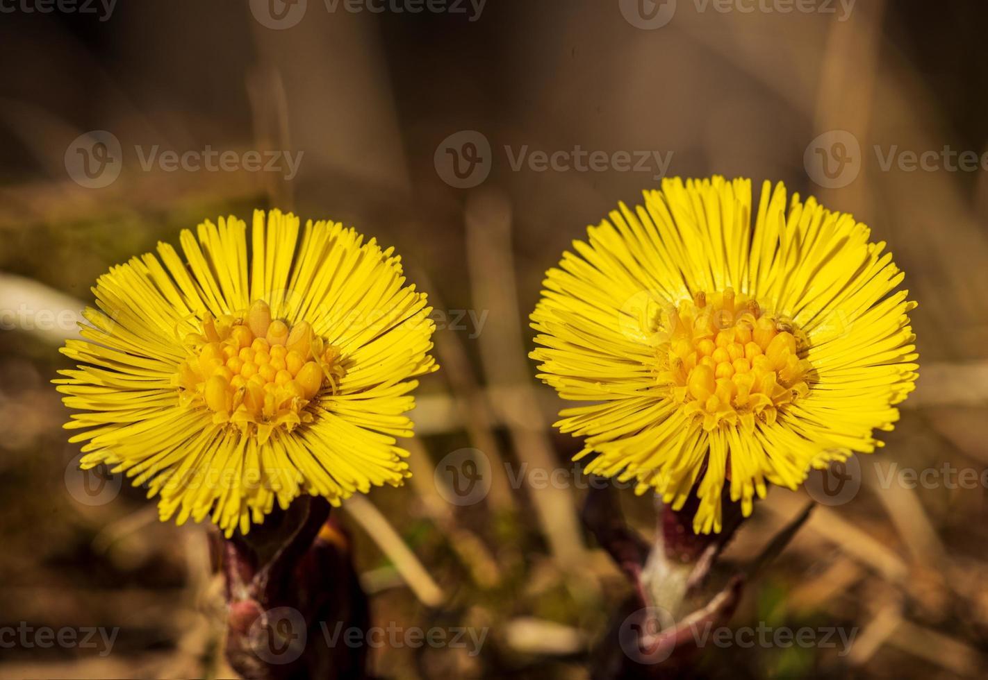 close up de duas flores butterbur lado a lado foto