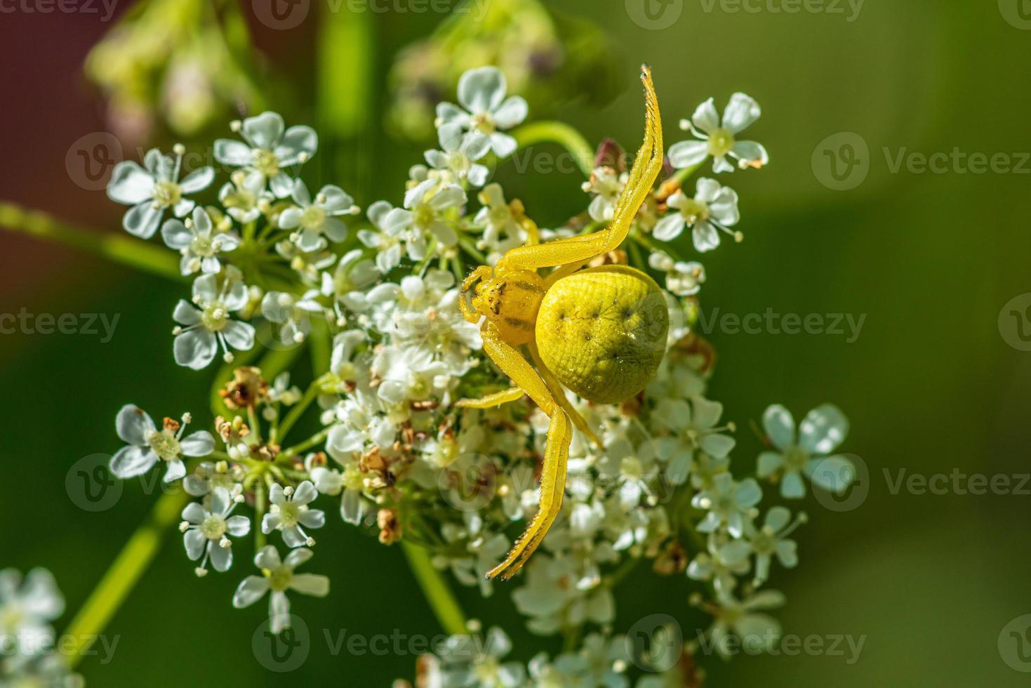 close-up de uma aranha caranguejo amarela em uma flor branca foto