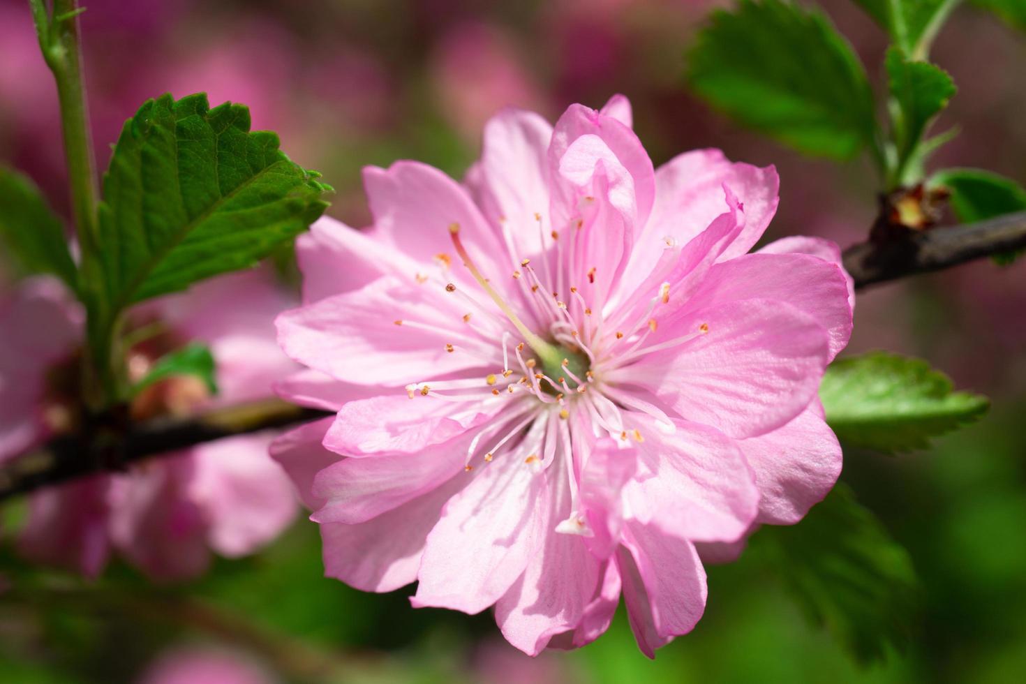 lindo fundo rosa floral de flores de sakura foto
