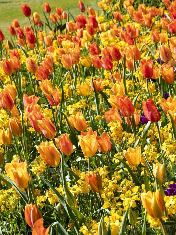 tulipa brilhante e flor de parede em um jardim foto