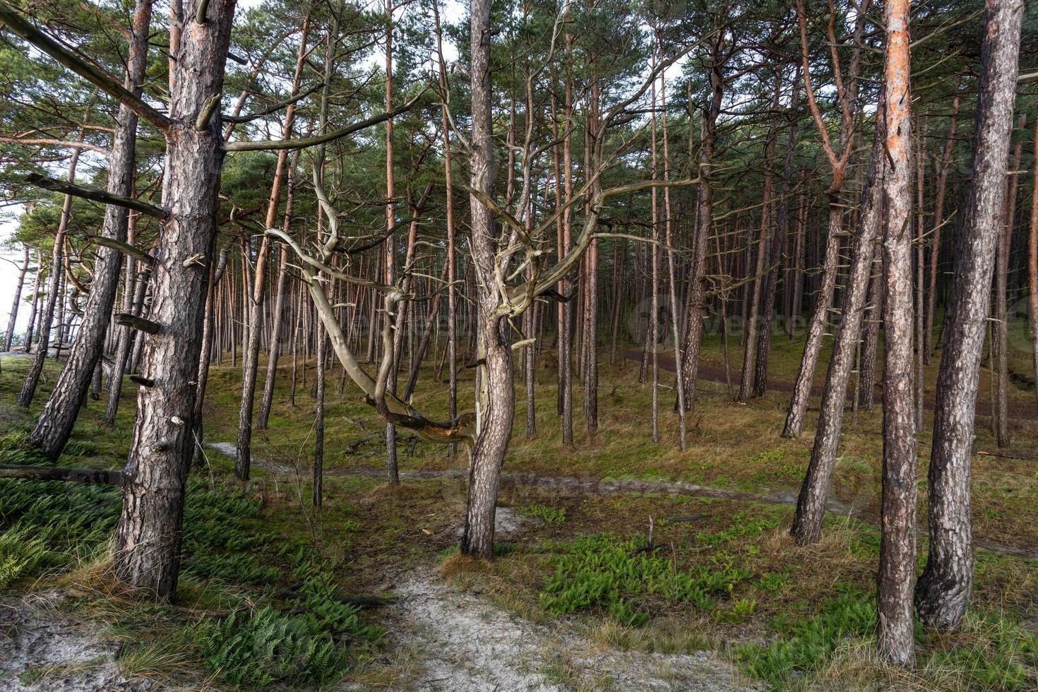 floresta costeira do mar Báltico e dunas de areia com pinheiros foto