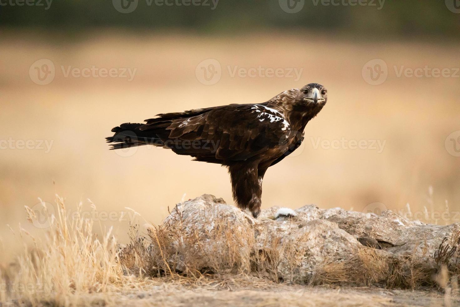 águia imperial espanhola aquila adalberti foto