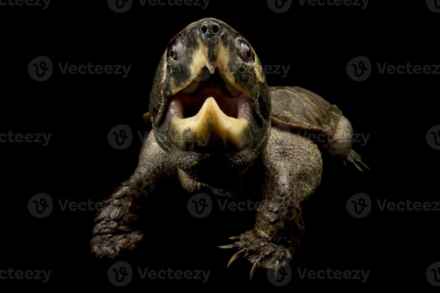 tartaruga de cabeça grande platysternon megacephalum foto