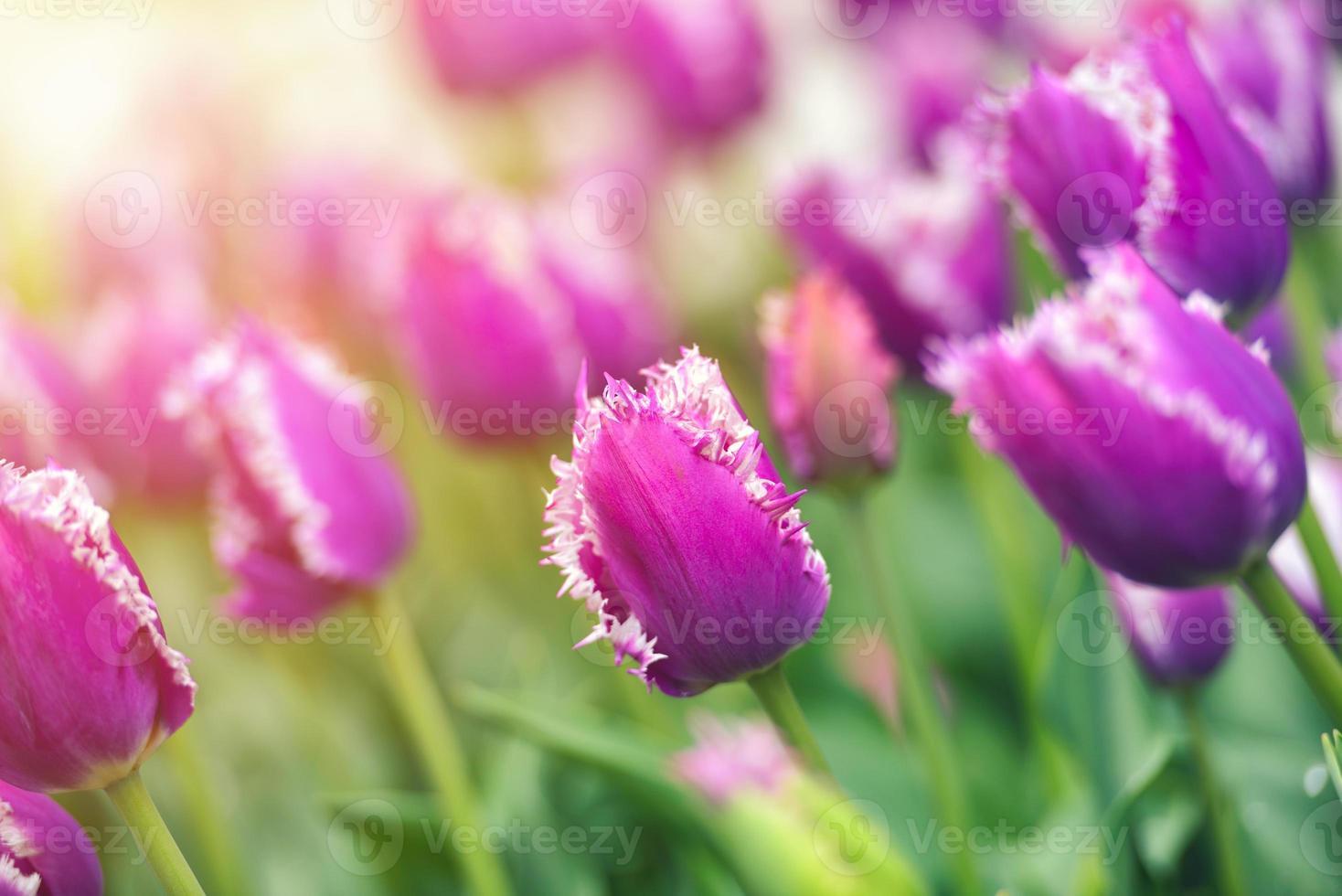 campo de tulipas coloridas foto