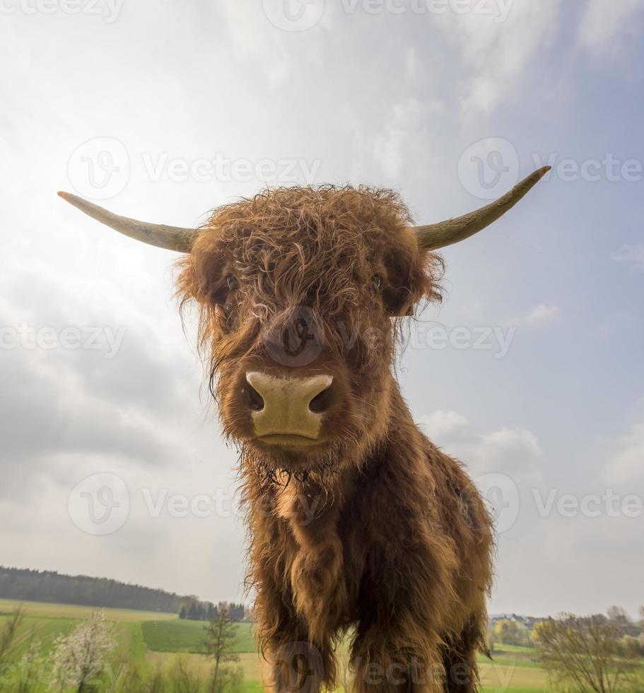 jovem gado marrom escocês das montanhas em uma pastagem foto