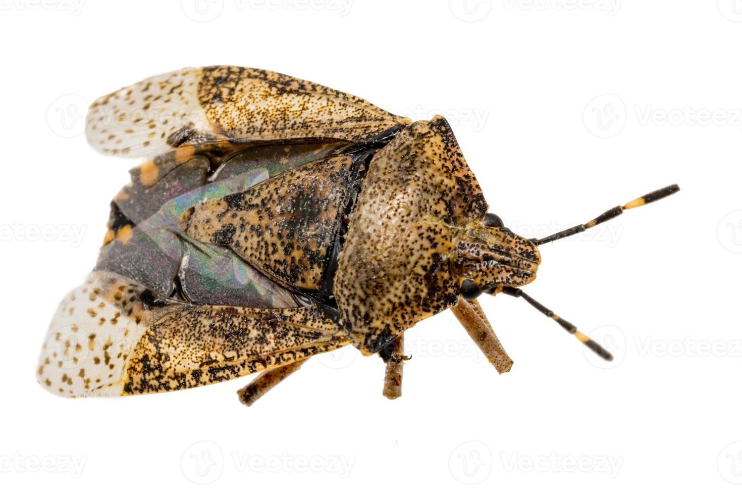 close de uma barata inseto marrom morta isolada foto