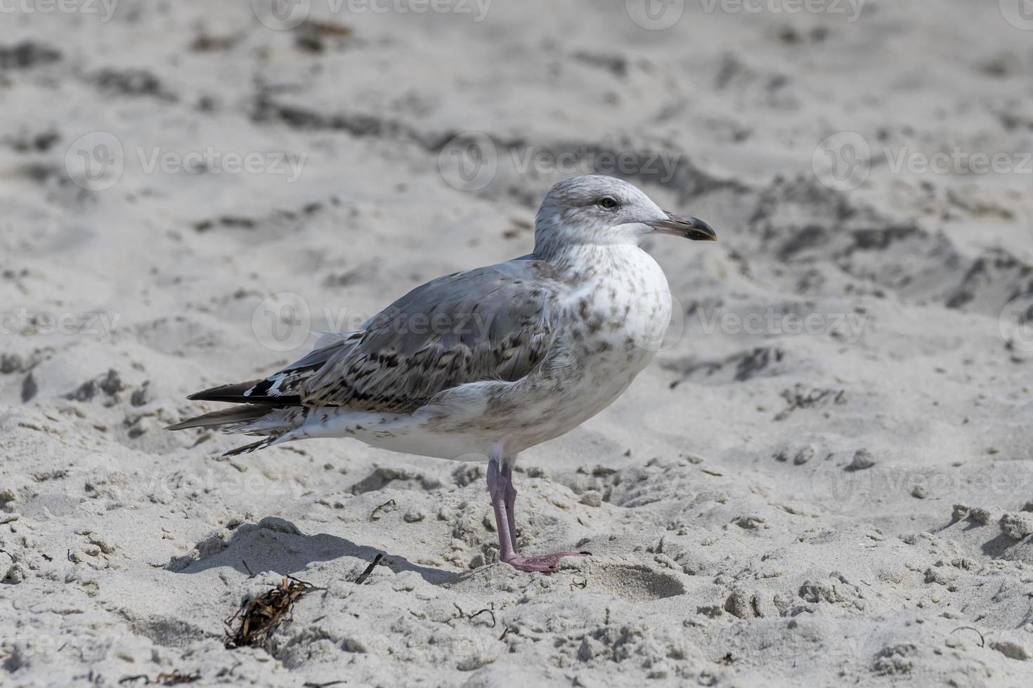jovem gaivota está parada na areia em uma duna foto