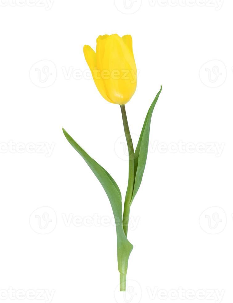 uma tulipa amarela isolada no fundo branco foto