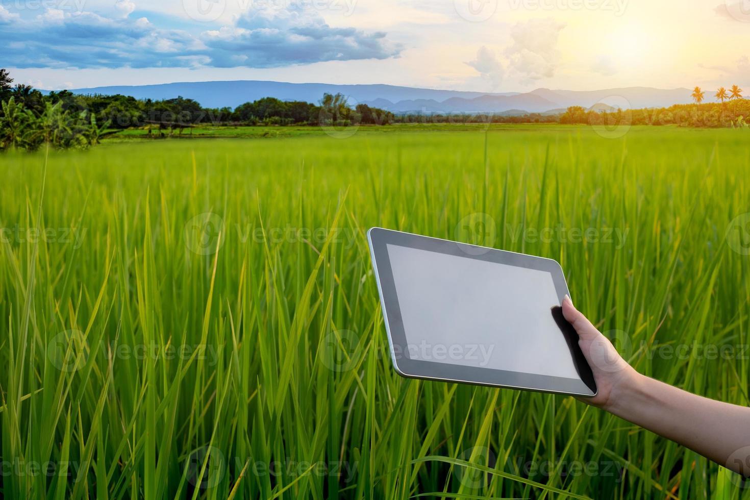 mulher agricultora segurando o tablet enquanto em mudas de arroz verde em um campo de arroz com lindo céu e nuvens foto