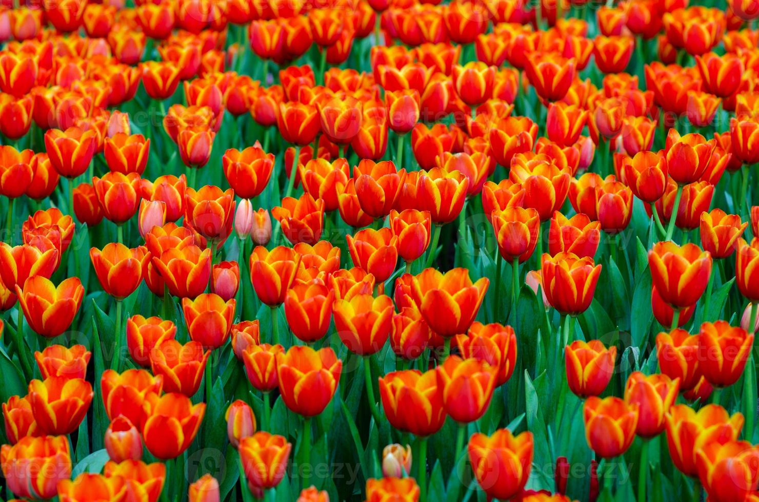 os campos de tulipas vermelhas e amarelas estão florescendo densamente foto
