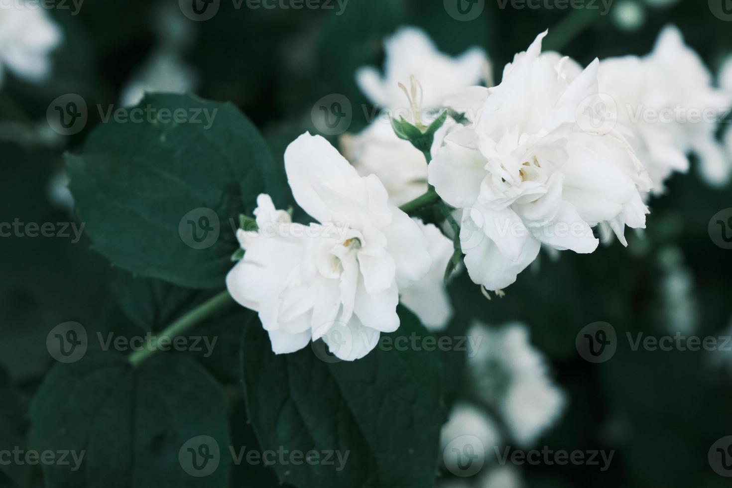 desabrochando flores de jasmim brancas no mato com folhas verdes foto