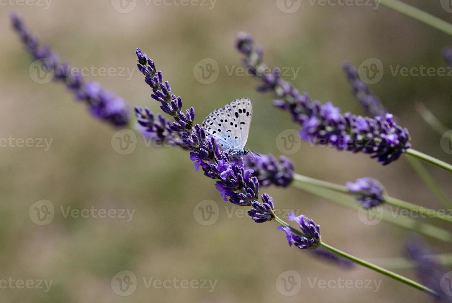 uma borboleta forrageando flores de lavanda na província de Lot, França foto