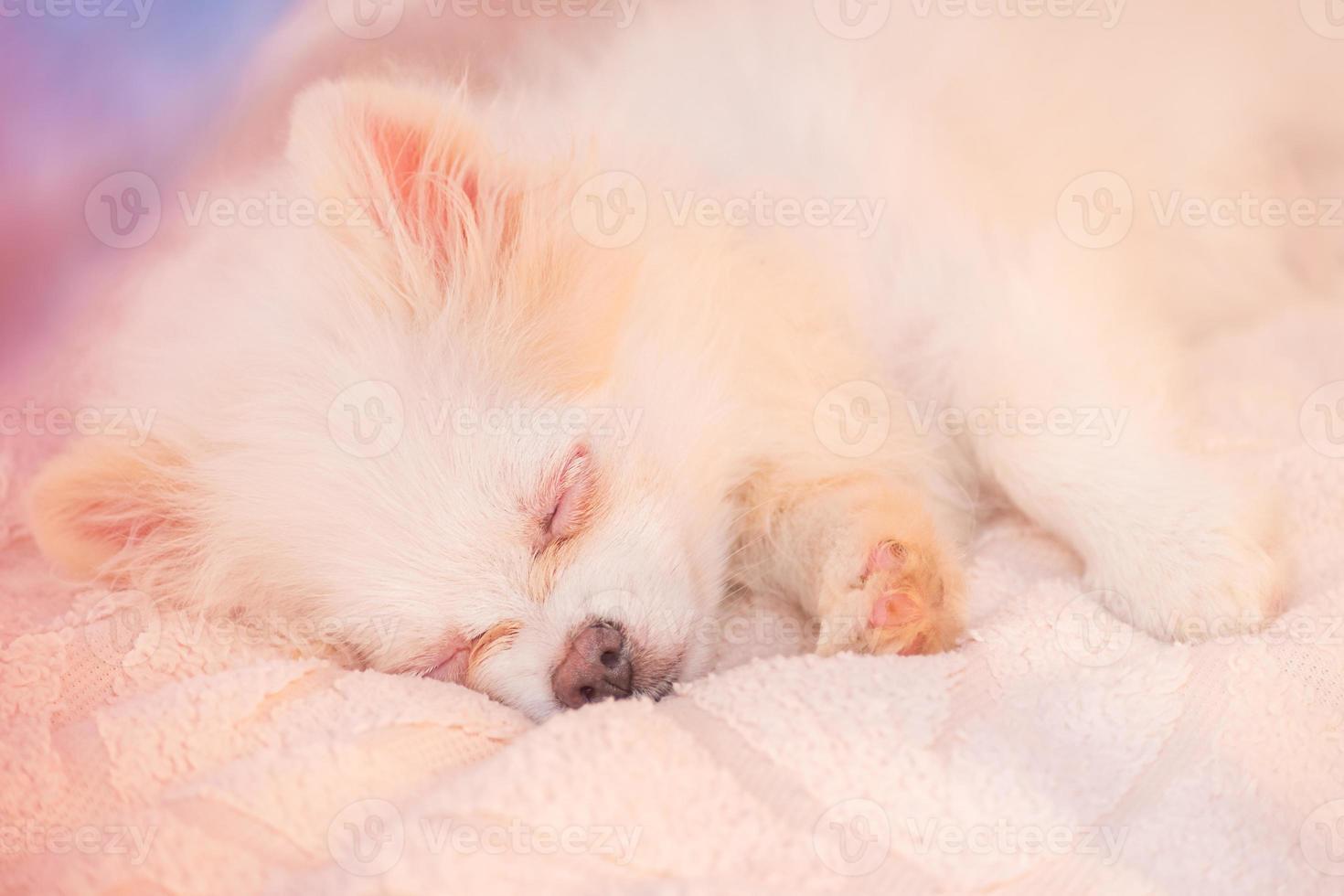 cachorro spitz branco está dormindo. Pomerânia adormecida de cor creme. sono, ternura. bicho de estimação foto