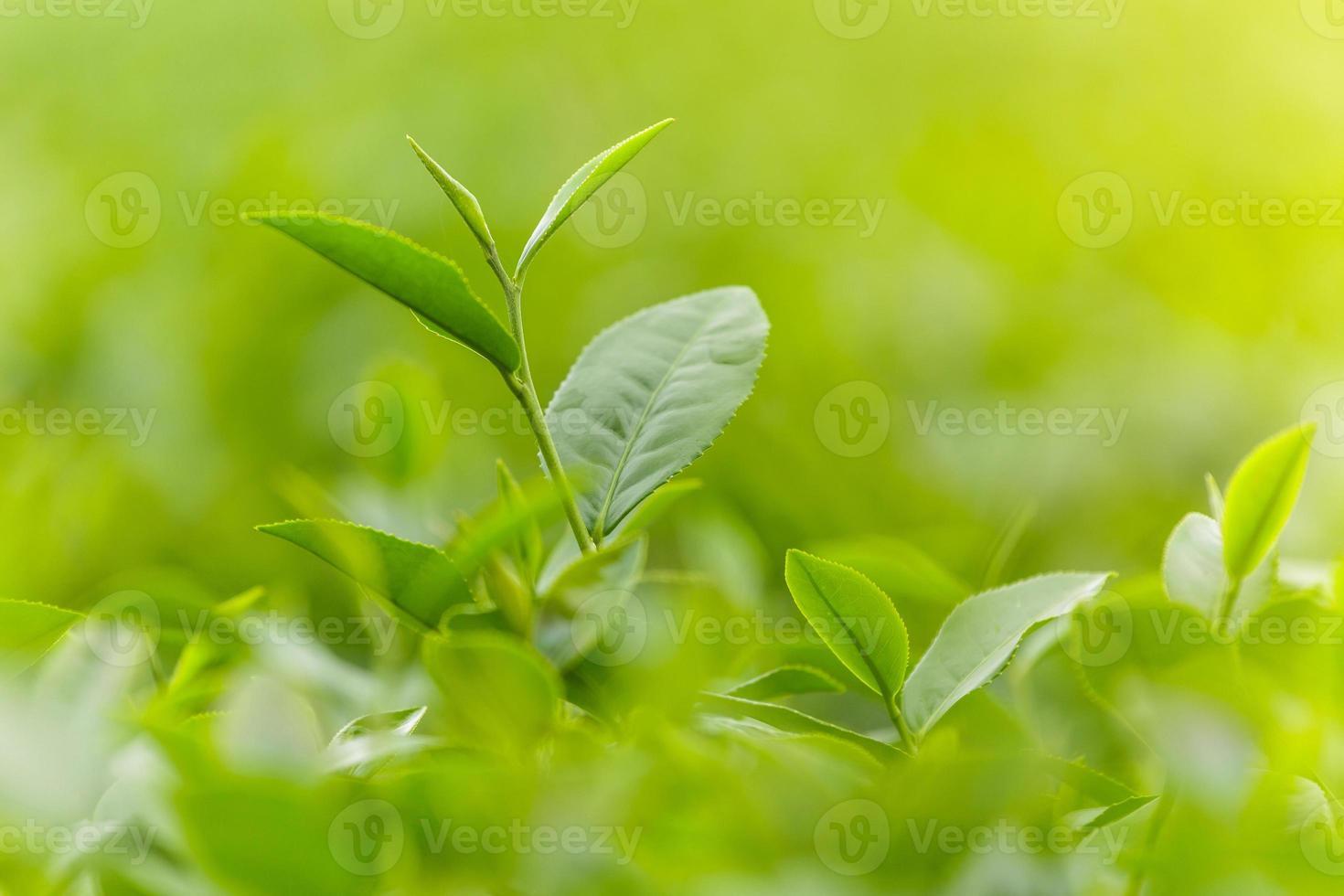 folhas frescas de chá verde em uma plantação de chá foto