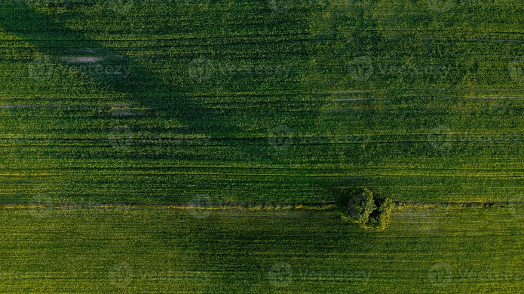 árvore solitária nos campos verdes foto