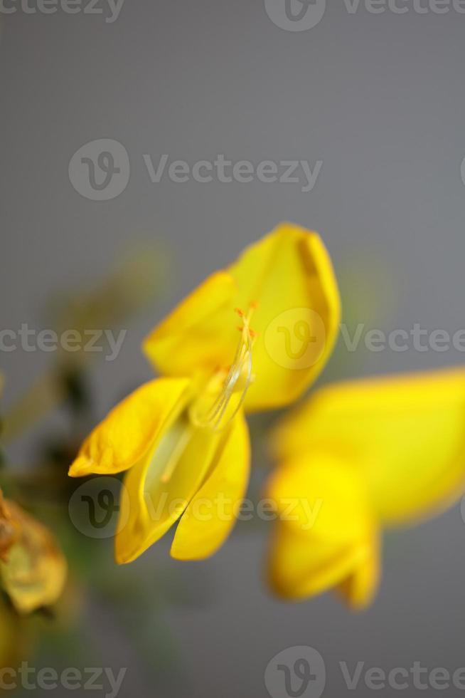 flor flor close up spartium jenceum family leguminosae botanicaly foto