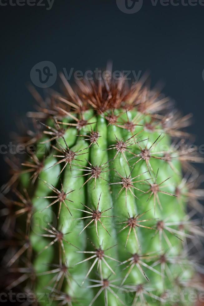 cacto close up stenocereus thurberi família cactaceae botânica moderna foto