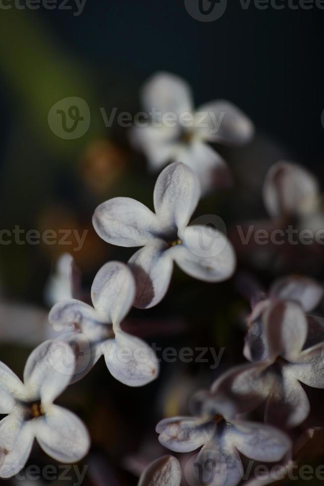 flor flor close up fundo siringa vulgaris família oleaceae foto