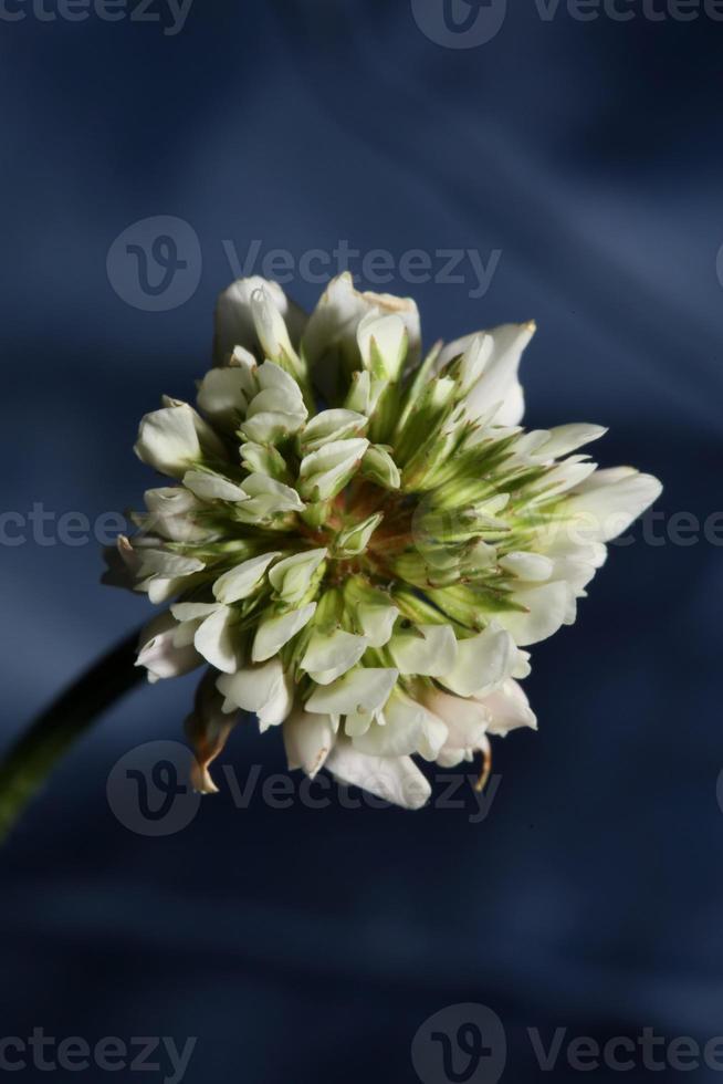 flor flor close up fundo trifolium nigrescens leguminosae foto