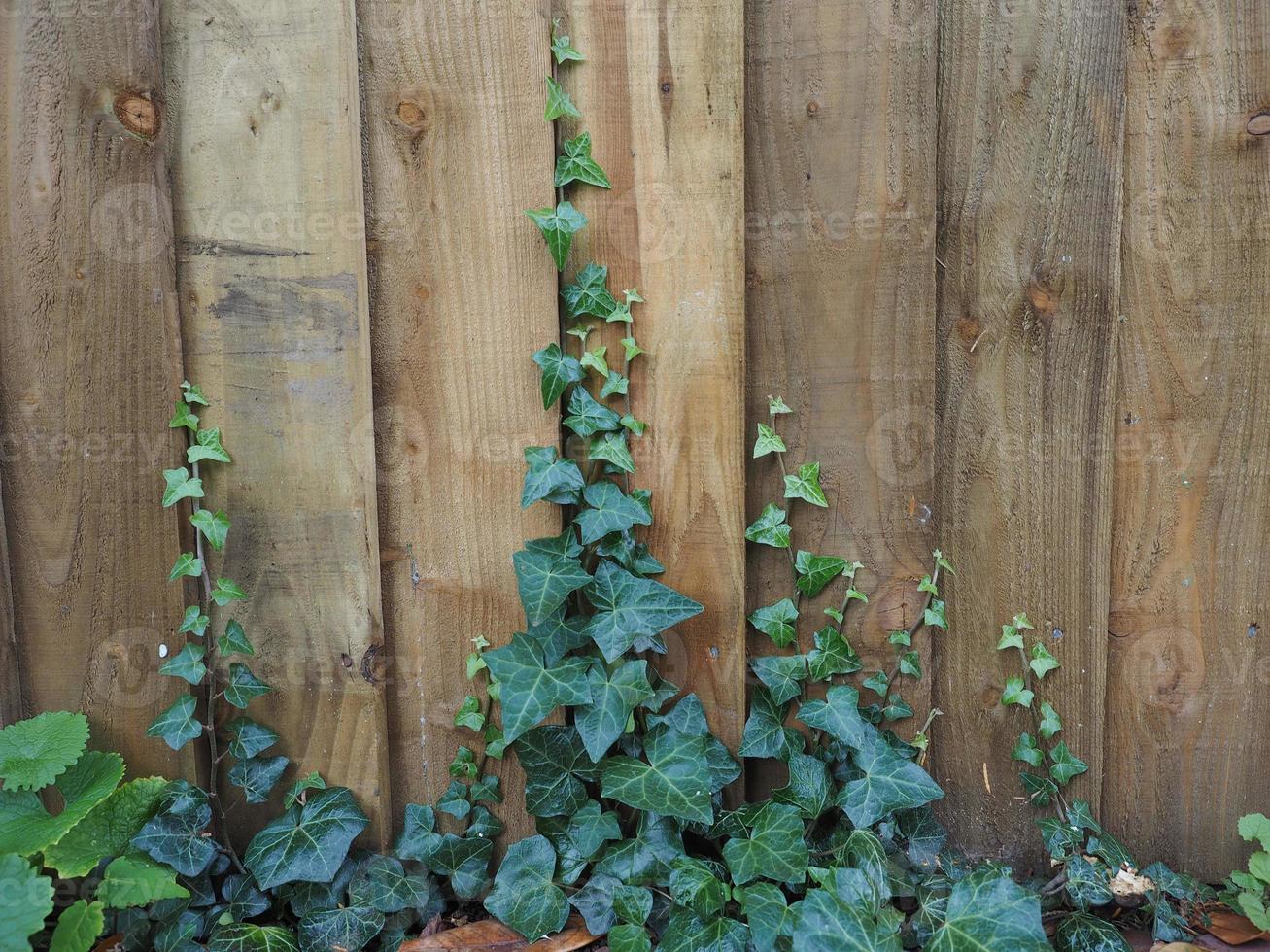 planta ivy em cerca foto