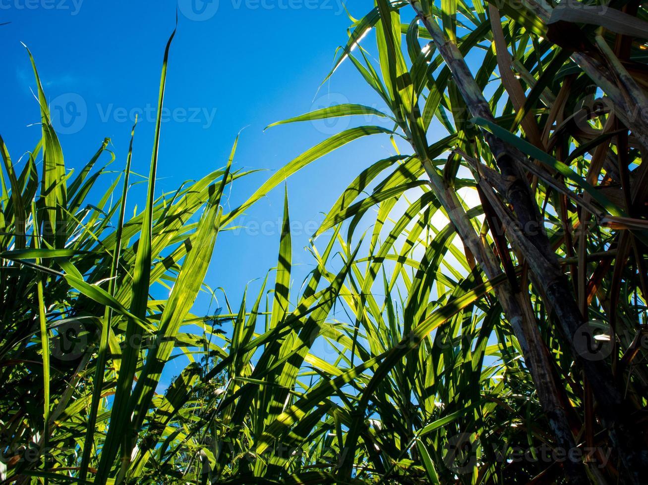 luz do sol e céu azul sobre a fazenda de cana foto