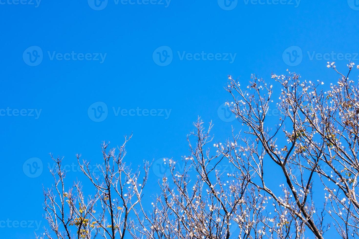 panela seca de padauk em árvore caducifólia no outono foto