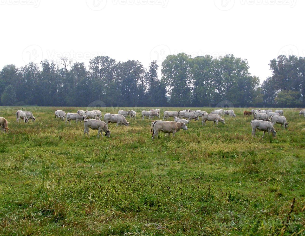 vacas em um pasto foto