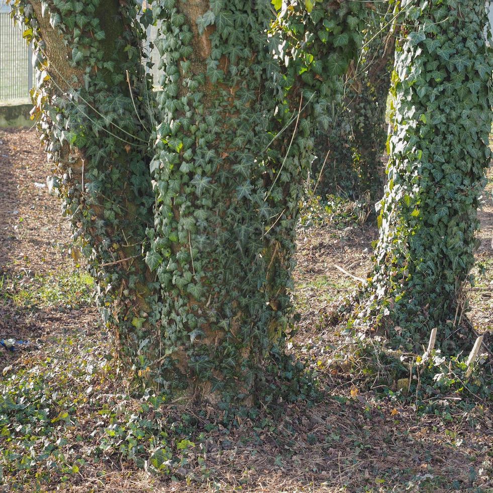 planta hera verde na árvore foto
